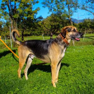 Ares - Schäfer- Schweißhund Mischling - Vorarlberger Tierschutzheim