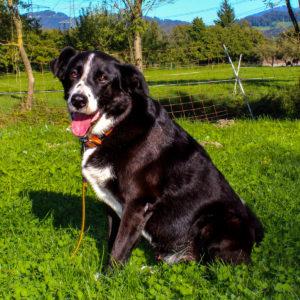 Nanuk - Schäferhund Mischling - Vorarlberger Tierschutzheim