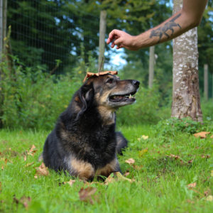 Nanuk I Schäferhund Mischling | Vorarlberger Tierschutzheim