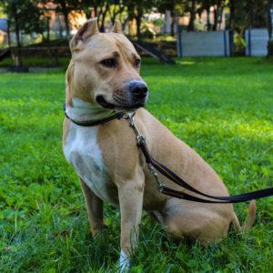 Kira - American Staffordshire Terrier - Vorarlberger Tierschutzheim