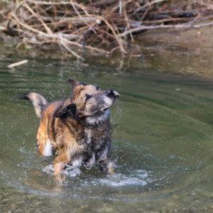 Figo I Belgischer Schäferhund | Vorarlberger Tierschutzheim