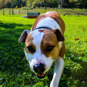 Dexter - American Bulldog-Mischling - Vorarlberger Tierschutzheim