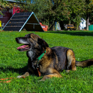 Figo - Belgischer Schäferhund - Vorarlberger Tierschutzheim