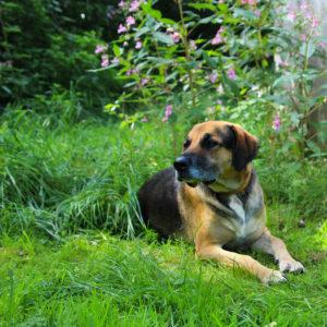 Ares I Schäferhund - Schweißhund Mischling | Vorarlberger Tierschutzheim