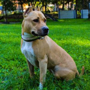 Kira I American Staffordshire Terrier | Vorarlberger Tierschutzheim
