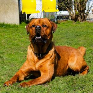 Alvin | Chow Chow - Rottweiler Mischling | Vorarlberger Tierschutzheim