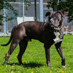Tyson | Boxer - Catahoula - Mischling | Vorarlberger Tierschutzheim