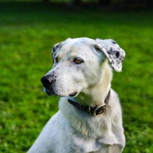 Amigo I Labrador - Spanischer Wasserhund - Mischling | Vorarlberger Tierschutzheim